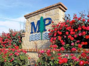 MP Roses in Bloom